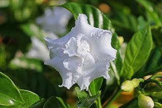 Gambr bunga gardenia