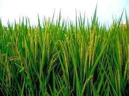 harr sona agricultural