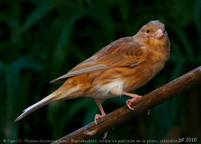 طائر الحسون,أنثى الكناري , هجين الحسون, البندوق, طائر الكناري,تهجين الحسون , النغل