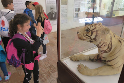 Italian school girl photographs a stuffed tiger. Pisa Museum of Natural History.