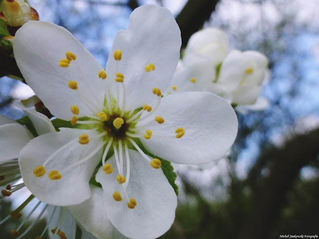 Kwitnące drzewa owocowe-ŚLIWA MIRABELKA....