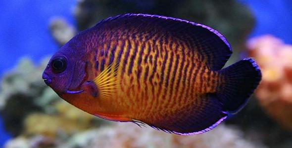 Gambar Ikan Coral Beauty - Budidaya Ikan
