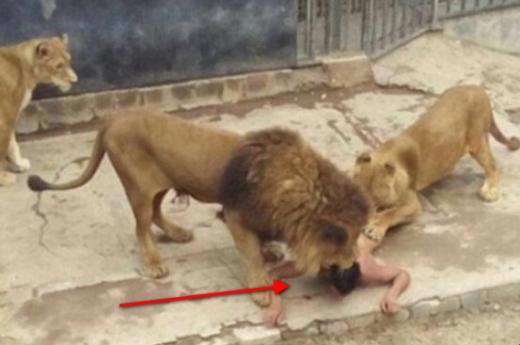 Mengerikan!! Nekad Bunuh Diri, Pria ini Umpankan Dirinya ke Kandang Singa