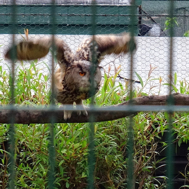 ready to fly_Owl