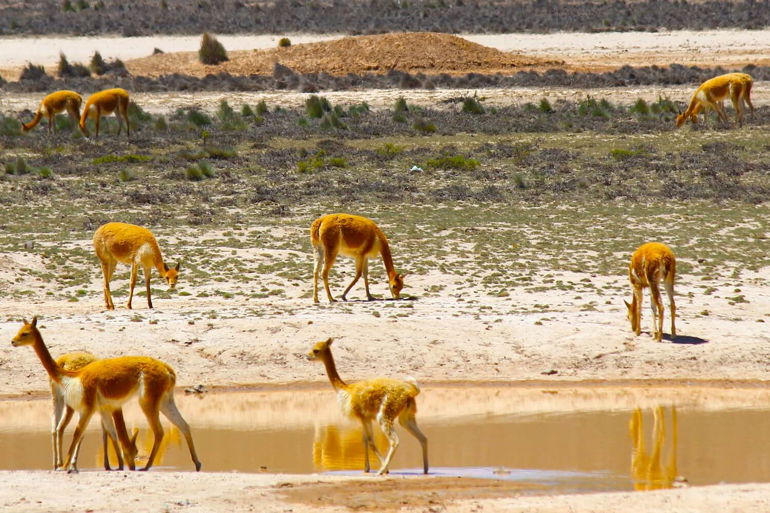 vicuñas around lake