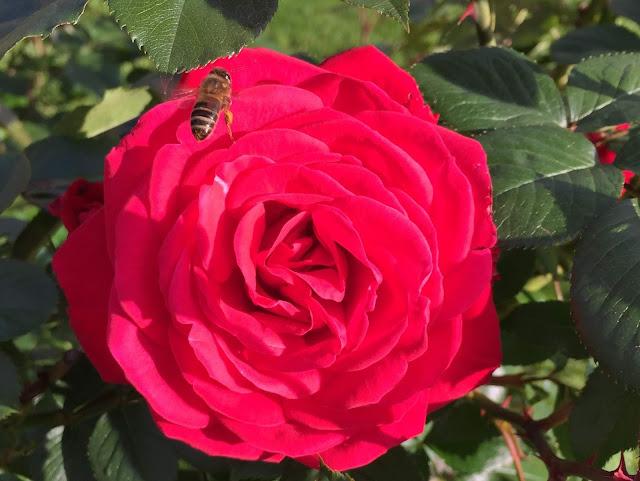 Biene auf Rose am Quai