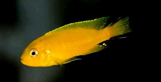 Jenis dan tips memelihara ikan lemon
