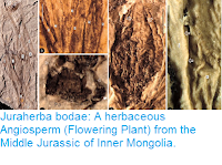 http://sciencythoughts.blogspot.co.uk/2016/04/juraherba-bodae-herbaceous-angiosperm.html