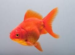 """Jenis Ikan koki Fantail """" Ekor Kipas """" tercantik nan indah"""