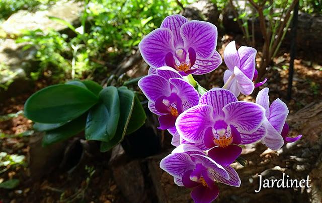 Cultivo de orquídea na pedra brita