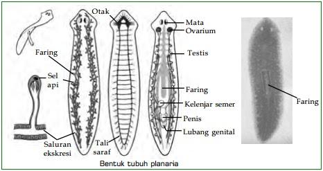 forma de tulpină varicoasă)