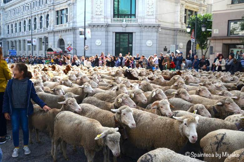 Fiesta de la Trashumancia Madrid  スペイン銀行前で行進する1500頭を超えるひつじの群れ