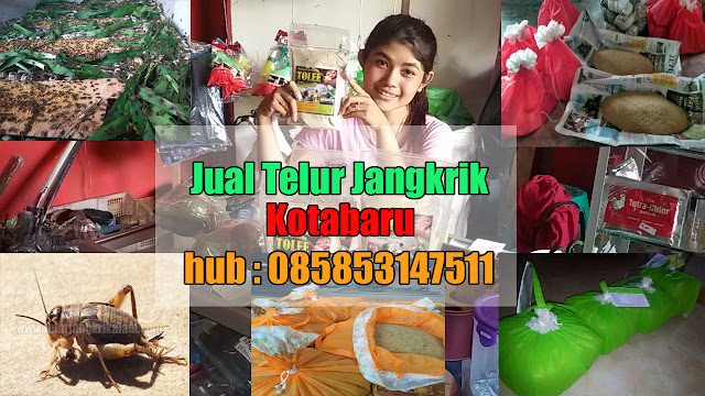 Jual Telur Jangkrik Kotabaru Hubungi 085853147511