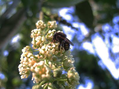 Abelha nativa (fotografada em 2009 no campinho de terra da Vila Nova durante experiência do apicultor Nikolaos Argyrios)