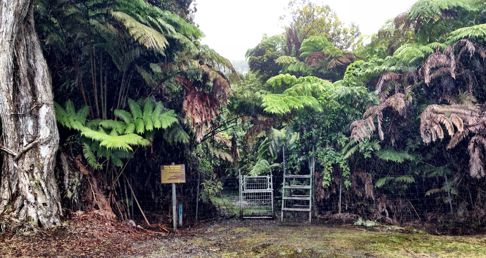 Rainforest On The Big Island: For The Earth: Big Island, Hawaii, Forest Added To Old
