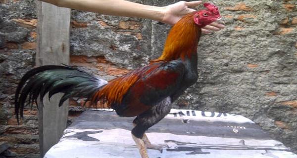 cara mengatasi ayam bantat dalam 1 minggu