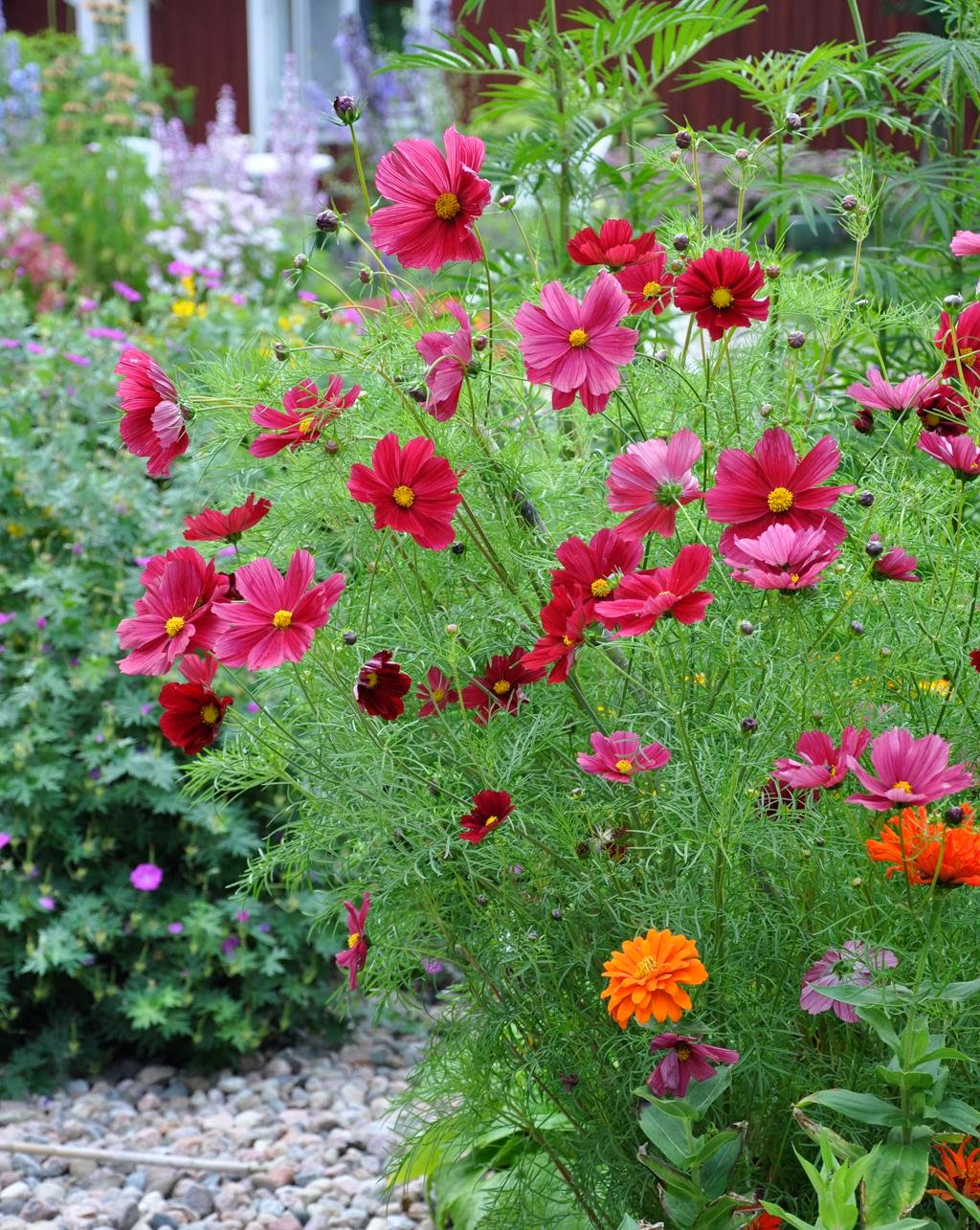Seminte si plante de gradina hobby cosmos bipinnatus for Commander des fleurs pour jardin