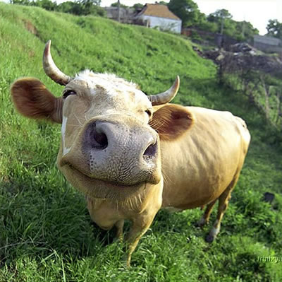 Funny Animals Funny Pictures: Funny Cow Faces Images Best ...