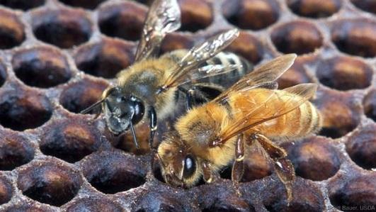 Une étude génomique explore l'évolution des abeilles africanisées dociles de Porto Rico