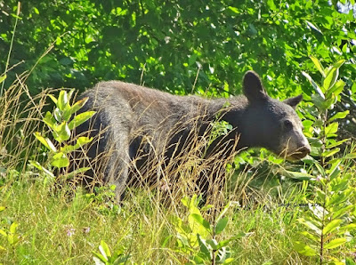 Bear spotted near Big Meadows at Shenandoah National Park