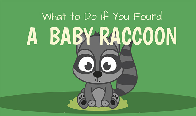 What To Do If You Found A Baby Raccoon