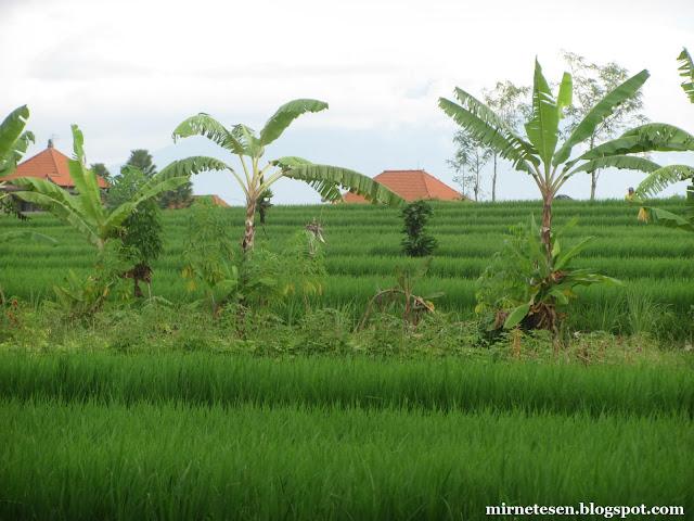 Рисовые поля по пути в Танах-Лот, Бали