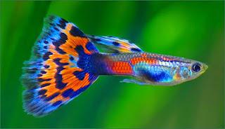 Agar ikan guppy cepat beranak