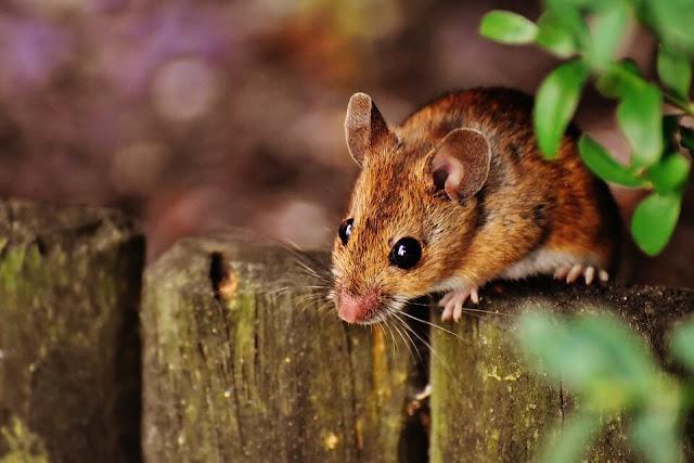 5 Kota yang Menjadi Sarang Tikus Terbanyak di Dunia