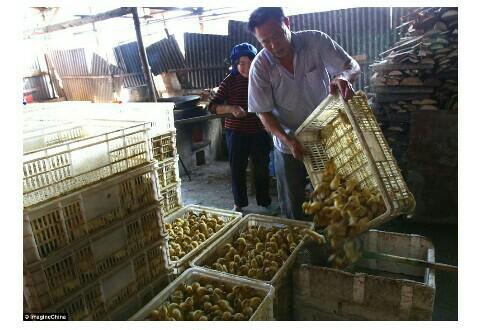 Arrgggh Sadisnya, Ribuan Anak Itik Ini Direbus Hidup Hidup Di China, Kasihan banget ya!!