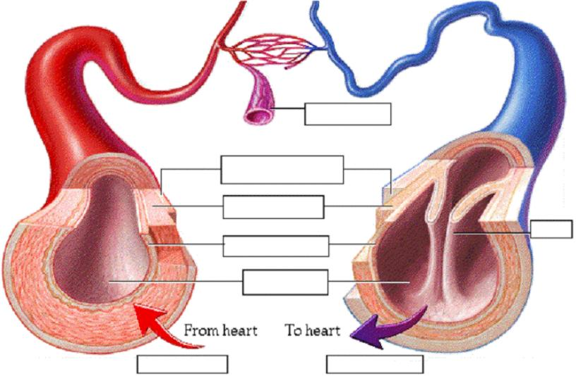 Structure Of Arteries Veins And Capillaries Socahealth