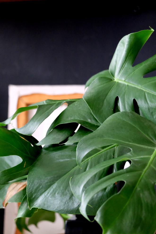 Urban Jungle Bloggers, Botanical Zoom, Minza will Sommer, Zimmerpflanzen Trend, Interiorblog, Wohnen mit Pflanzen, mit Pflanzen dekorieren, Monstera