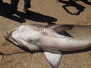 Tubarão em extinção fica preso a rede de pescador em Guarapari, ES