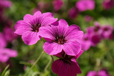 Not Just a Pretty, Flowers Geranium It Can Prevent HIV Virus