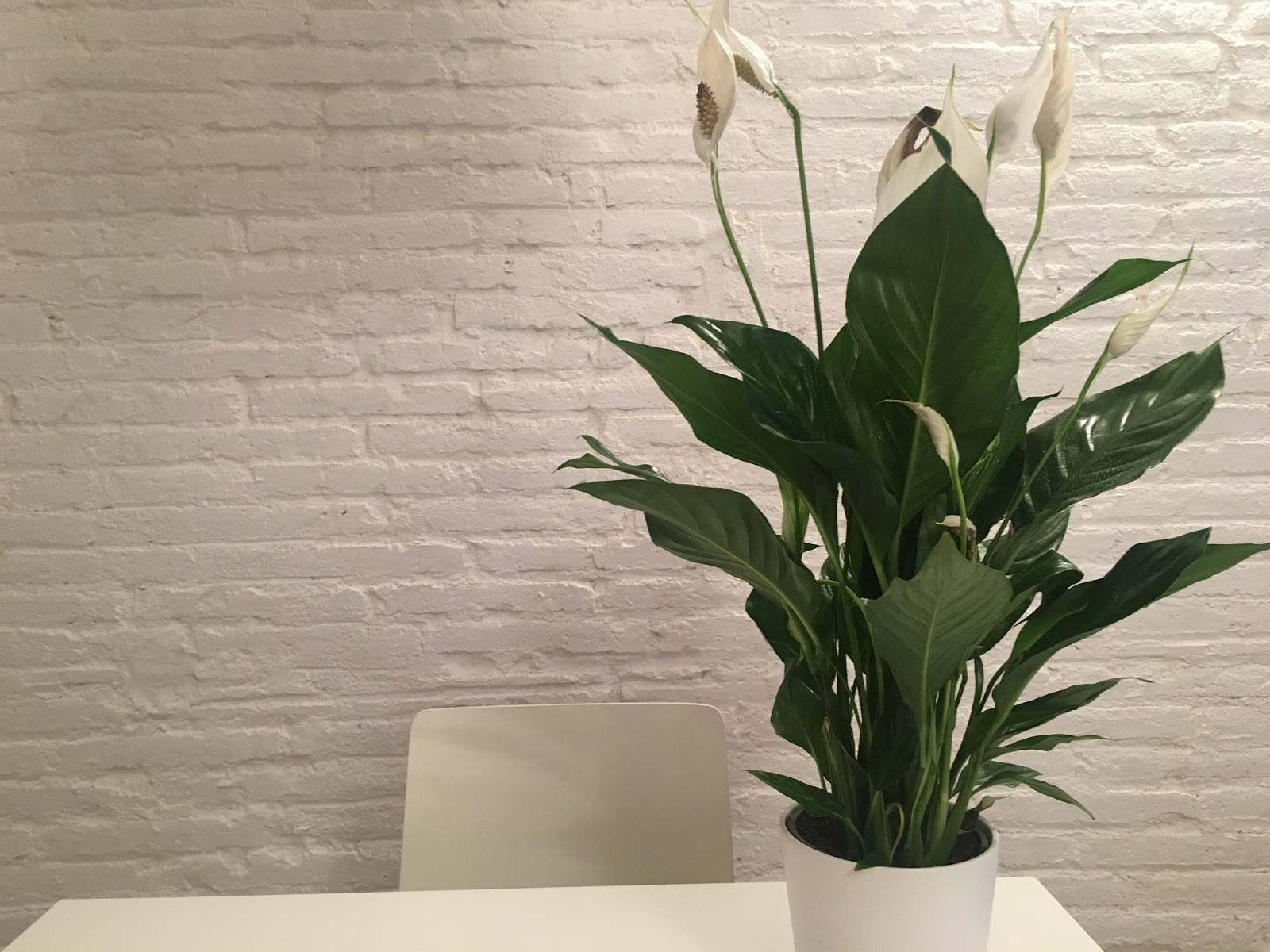 Picture of Peace Lily Plant