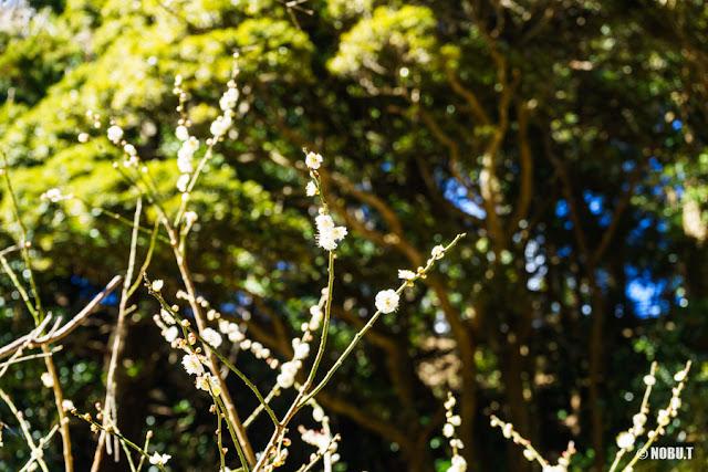 抱湖園(南房総市)の梅の花