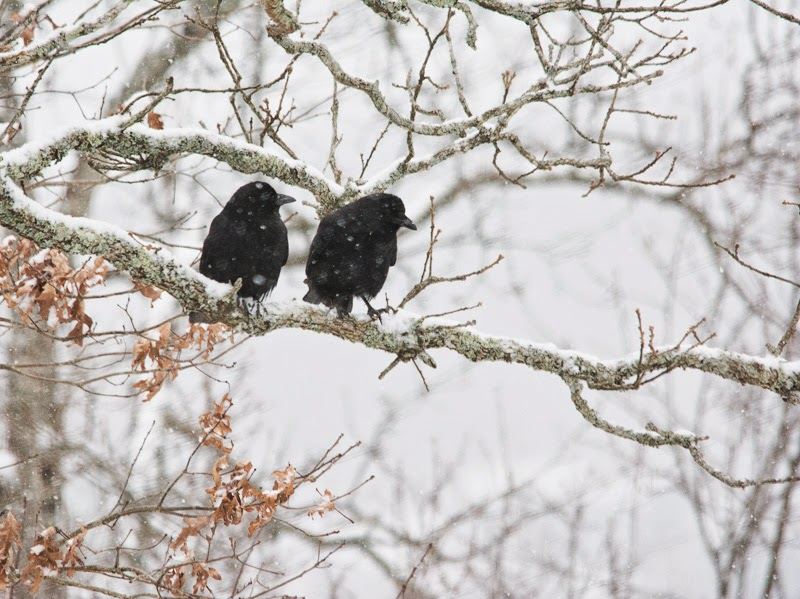 Crows in a snowy tree