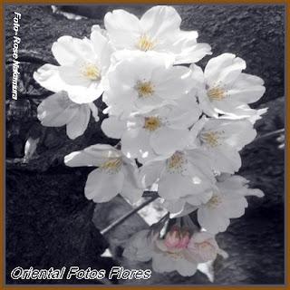 maravilhosas flores de sakura