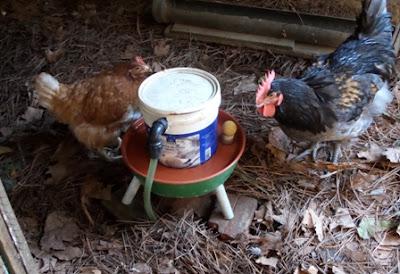 Bebedouro automático para galinhas em funcionamento