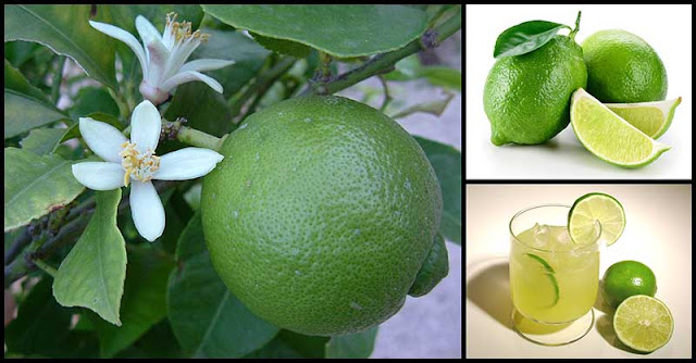 Limes Are Small Citrus Fruits With Numerous Health Benefits
