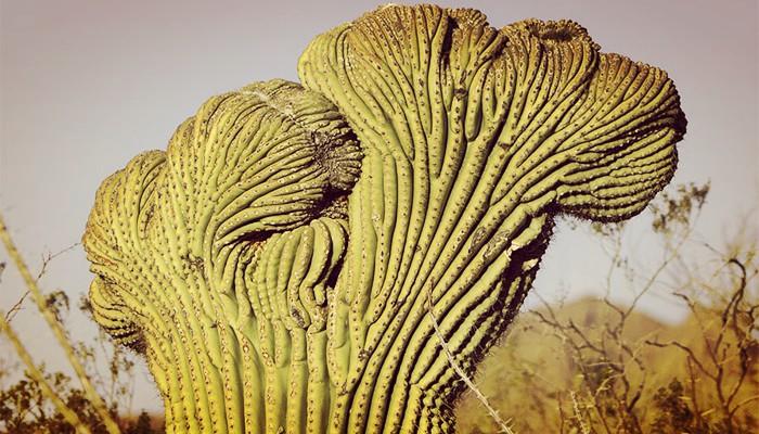Cactus de saguaro