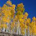 Дървета-клонинги: най-големият организъм на планетата (видео)