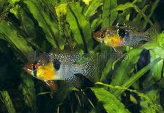 Pemijahan German Blue Ram Fish ( Ramirezi )