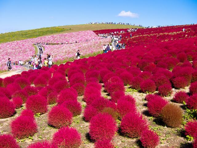 Resultado de imagen para Hitachi Seaside Park, Japón