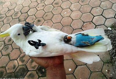 Zwei witzige Papageien liegen auf Rücken - Vogel in Hand