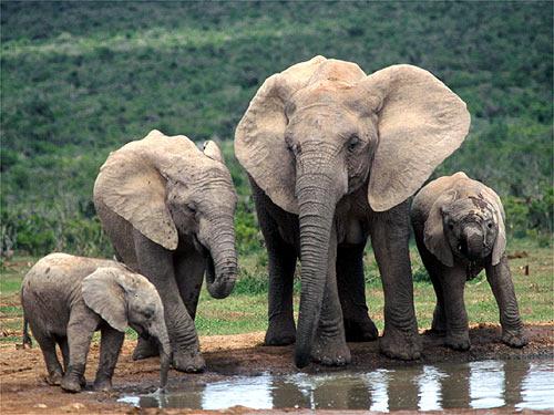 elephant animal elephants wildlife african bush forest mammal