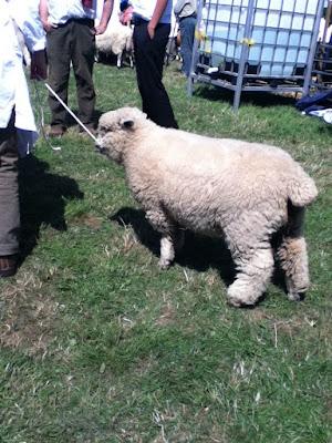Okehampton show sheep