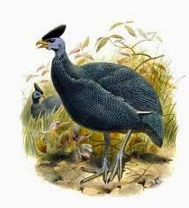 Plumed Guineafowl
