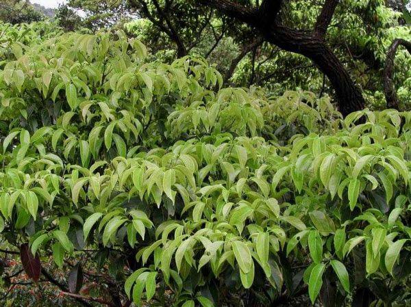 Xá Xị - Cinnamomum parthenoxylon - Nguyên liệu làm thuốc Chữa Tê Thấp và Đau Nhức