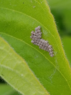 stink bug eggs genus Chlorochroa