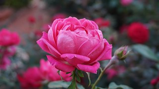 a-rose-1039817__180.jpg